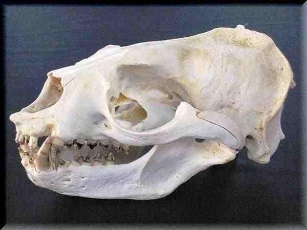 オタリア 頭骨