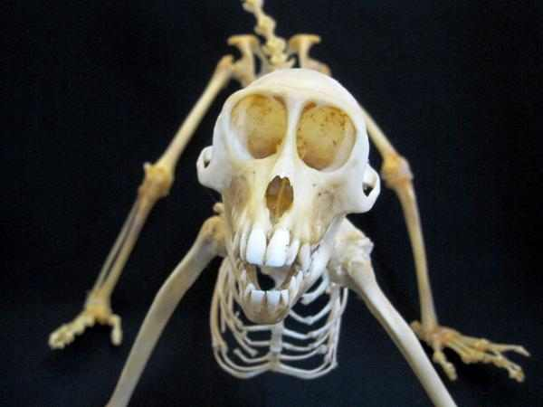 カニクイザル 骨格標本