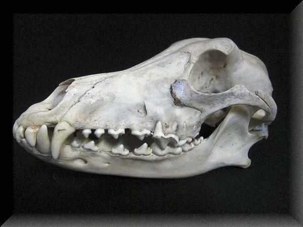 グレイハウンド犬 ◆頭骨