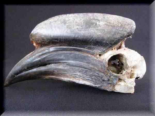 クロコブサイチョウ 頭骨