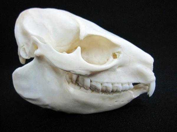 ケープハイラックス 頭骨