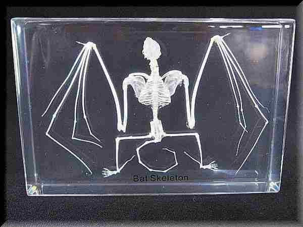 コウモリ アクリル 骨格標本