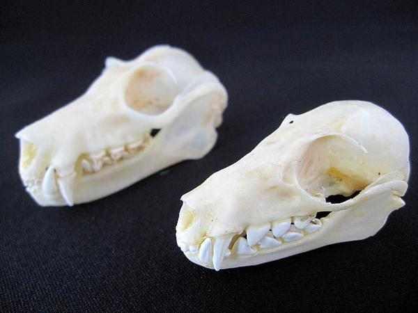 コウモリ ペア 頭骨