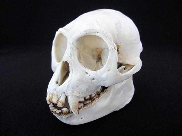 ジャワルトン Javan Lutung ♀頭骨