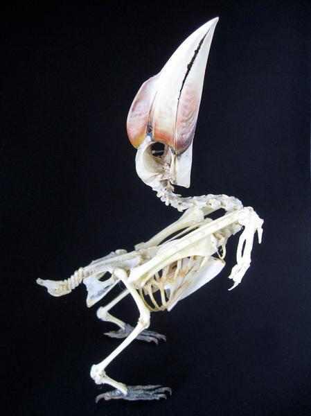 ズグロサイチョウ 骨格標本
