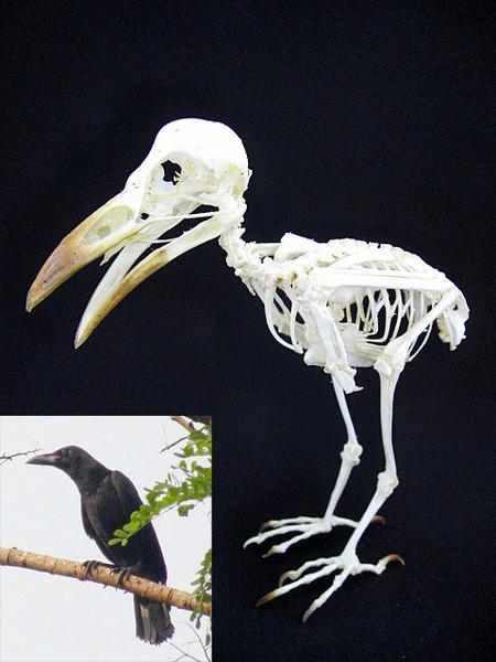 スンダガラス(Slender-billed Crow)全身骨格標本
