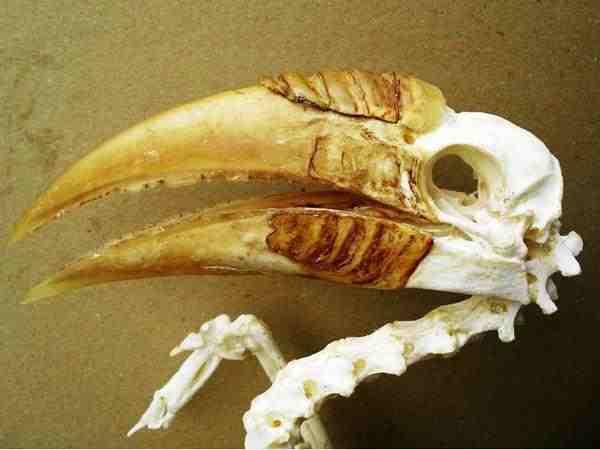 ソロモン諸島 パプアシワコブサイチョウ 全身骨格標本