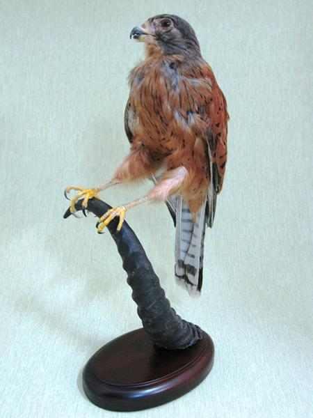 チョウゲンボウ(Common Kestrel)◆剥製