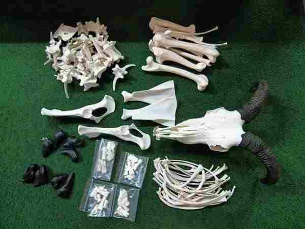 バーバリーシープ (Ammotragus lervia)骨格標本