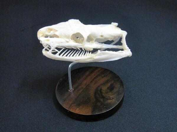 パイソン 頭骨