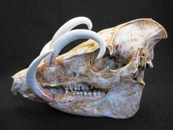 バビルサ 頭骨 模型