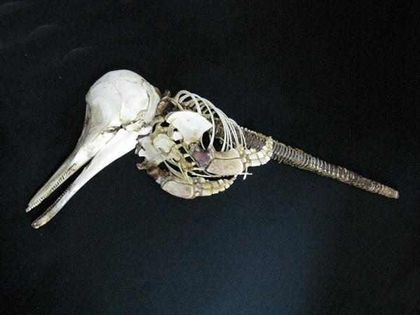 バンドウイルカ(Bottlenose dolphin)頭骨
