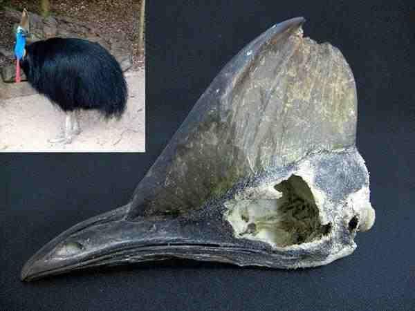 ヒクイドリ(火食い鳥) 頭骨