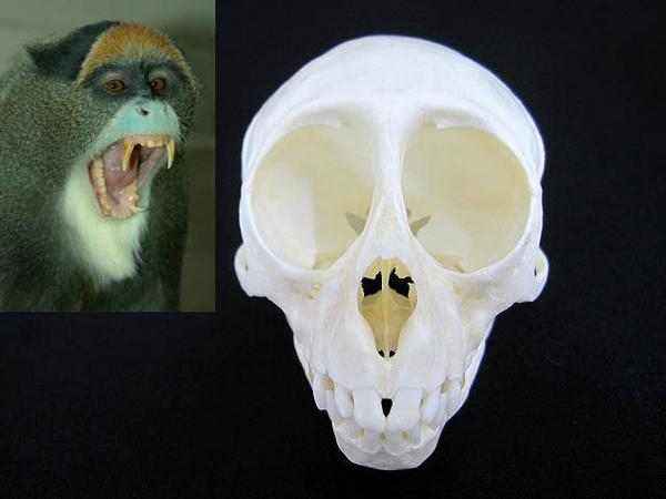 ブラッザモンキー(De Brazza's Guenon)頭骨標本