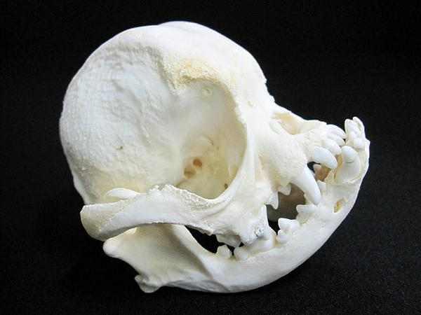 フレンチブルドック 頭骨