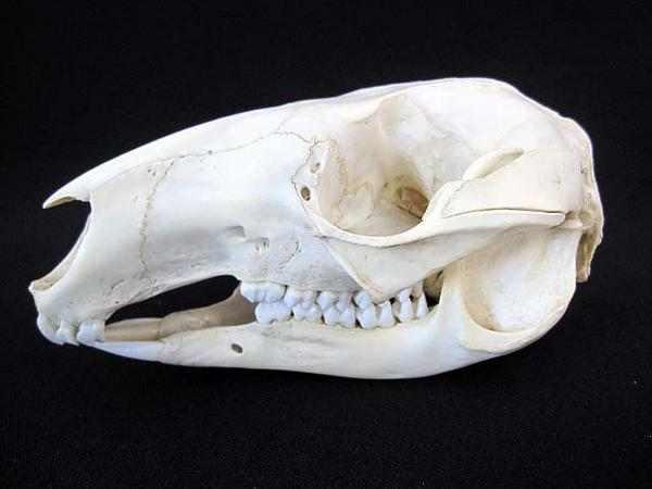 ベネットワラビー頭骨 標本