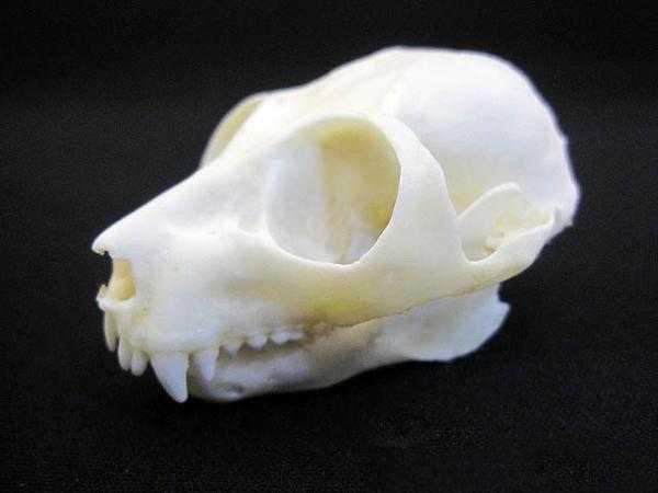 ポト (POTTO) 頭骨