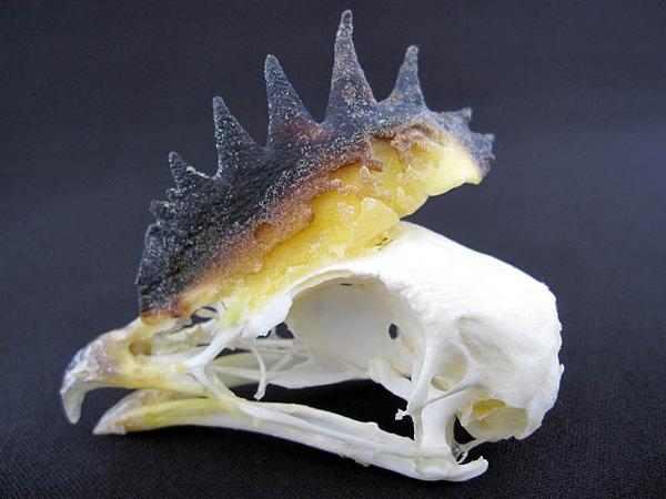 ホロホロチョウ 頭骨