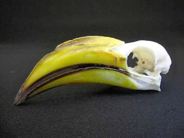 ミナミキバシコサイチョウ 頭骨