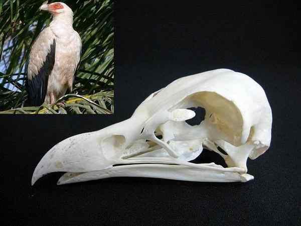 ヤシハゲワシ (Palm Nut Vulture) 頭骨