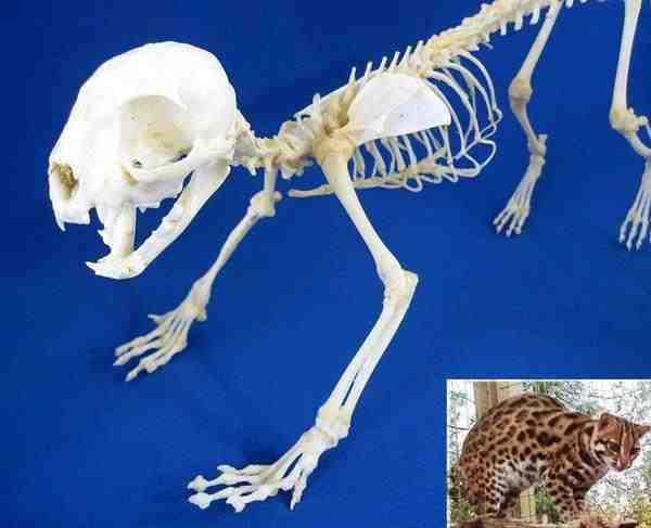 ヤマネコ 骨格標本
