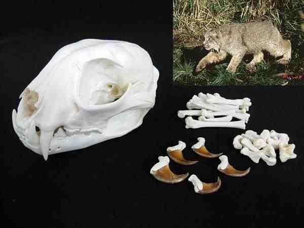 ヤマネコ 頭骨