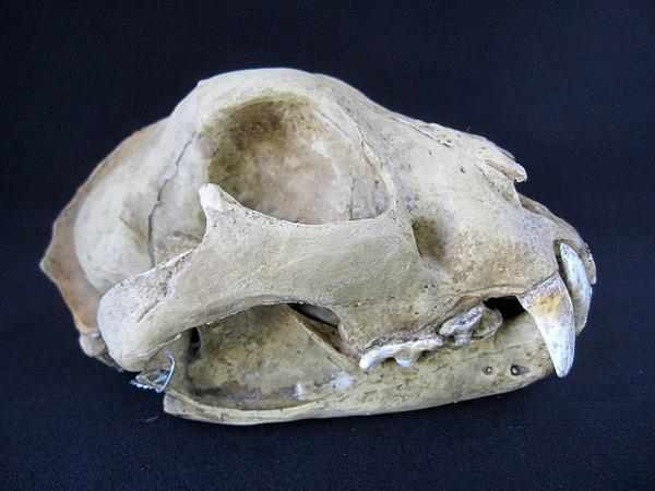 ユキヒョウ Snow leopard 頭骨 模型
