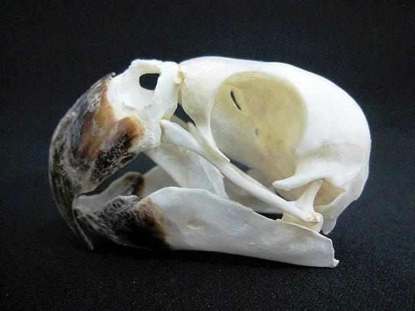 ヨウム (African Grey Parrot) 頭骨