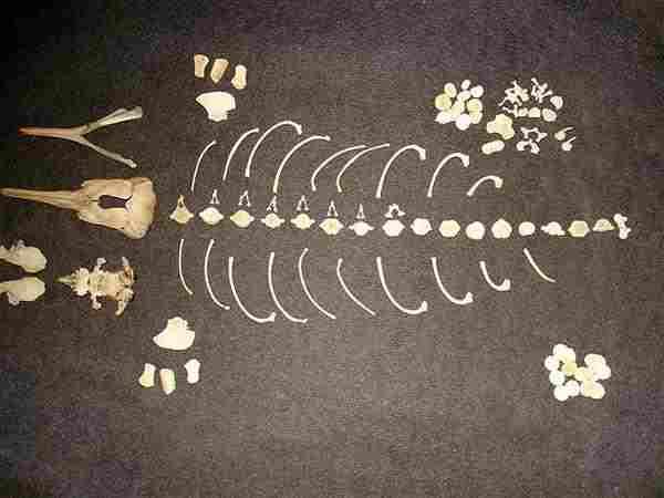 ラプラタカワイルカ 骨格標本
