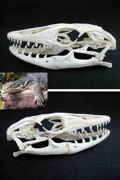 巨大13cm!サルバトールモニター 頭骨