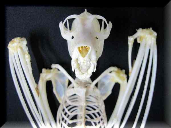 巨大コウモリ 52cm 全身骨格標本