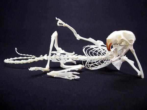 生意気ななポーズをとるラット」 HEY YOU !  骨格標本