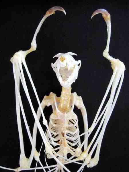 特大コウモリ  骨格標本