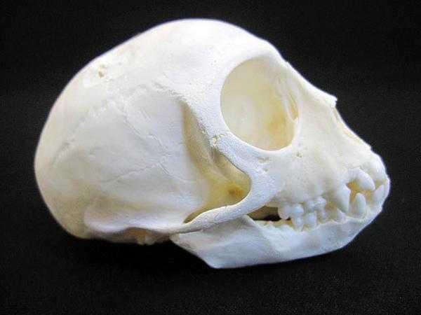 南アフリカ ベルベットモンキー ◆頭骨標本_画像